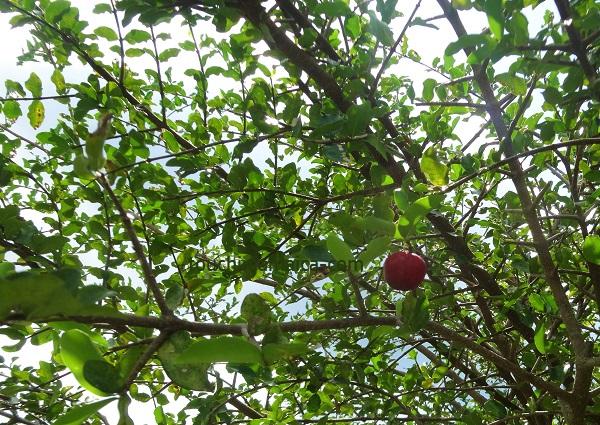 Früchte Jamaika