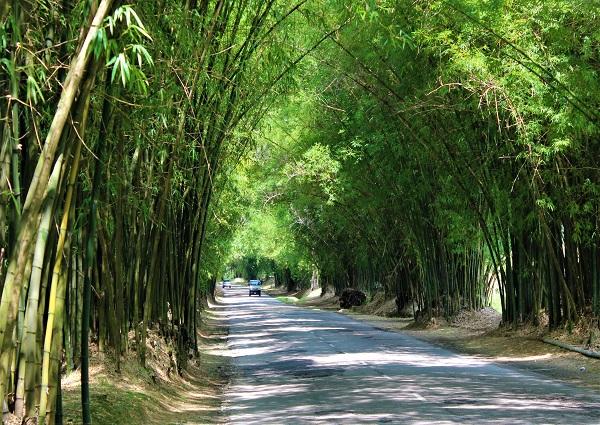 Bamboo Ave bei Holland Jamaika
