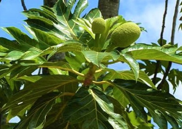 Breadfruit- Brotfrucht